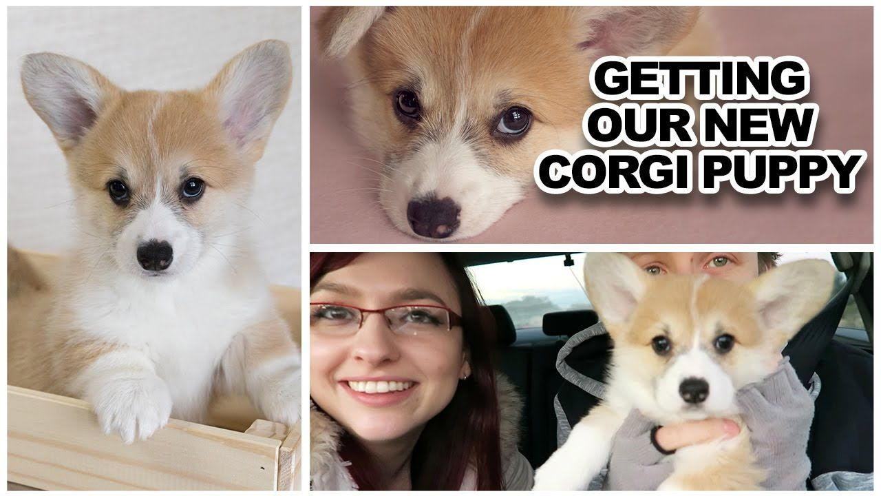 Getting Our New Corgi Puppy Youtube Corgi Puppy Corgi