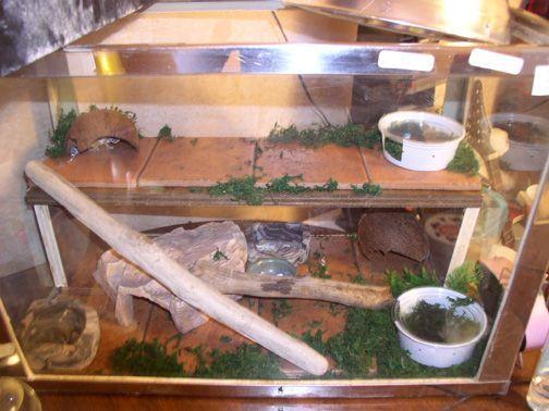 Leopard gecko    toys? - FaunaClassifieds | Geckos | Leopard