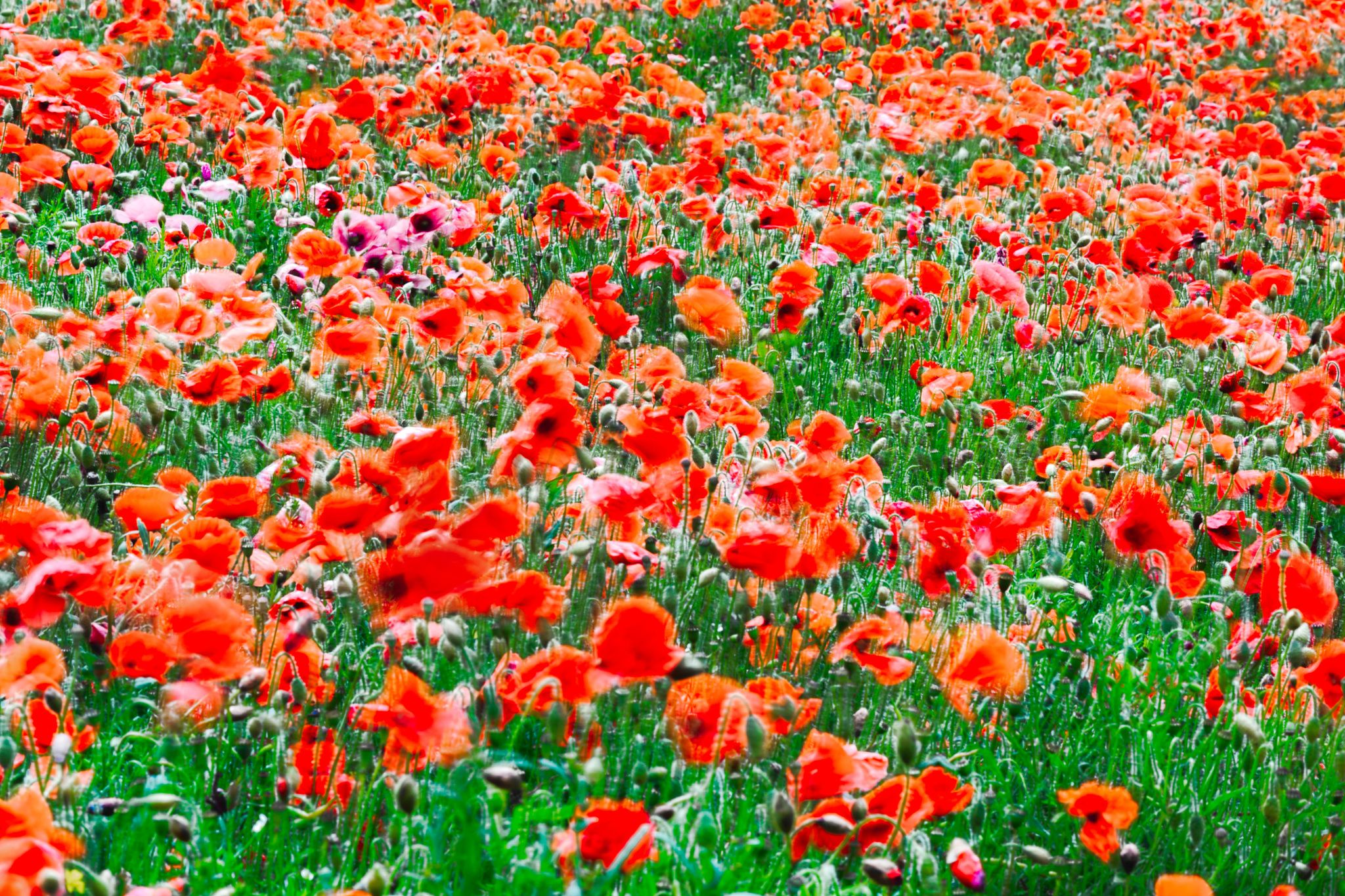 Fotografia Field of Poppies in Sussex de Phil Bird LRPS CPAGB na 500px