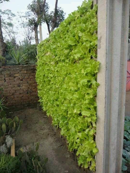 Qadir Bakhsh Farm S Lettuce Wall Faisalabad Pakistan Small Vegetable Gardens Growing Food Plants