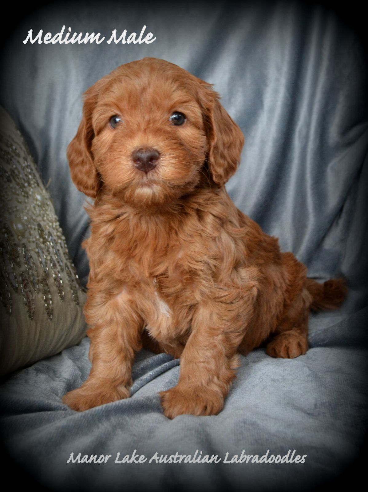 Available Soon Puppies Red Labradoodle Labradoodle Puppy Cute Dogs