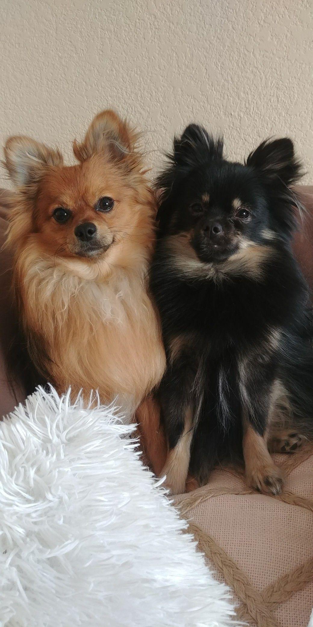 Babies pomeranian pom puppy pomeranian puppies dogs