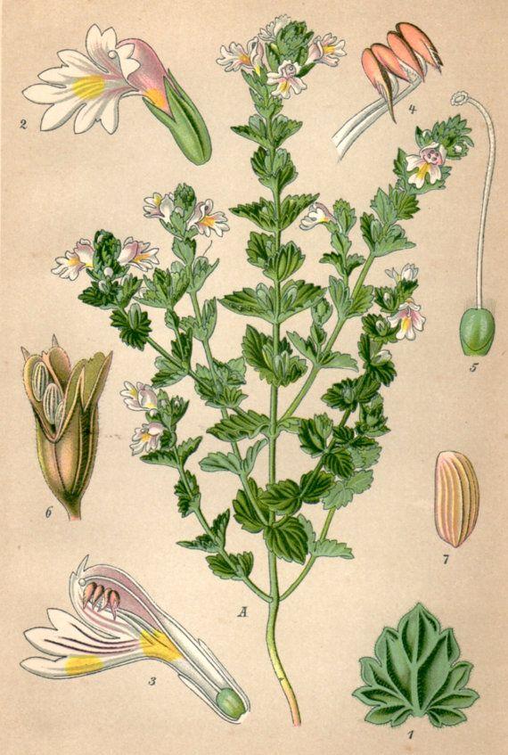 1901 Eyebright Botanical Print Euphrasia by Craftissimo on Etsy