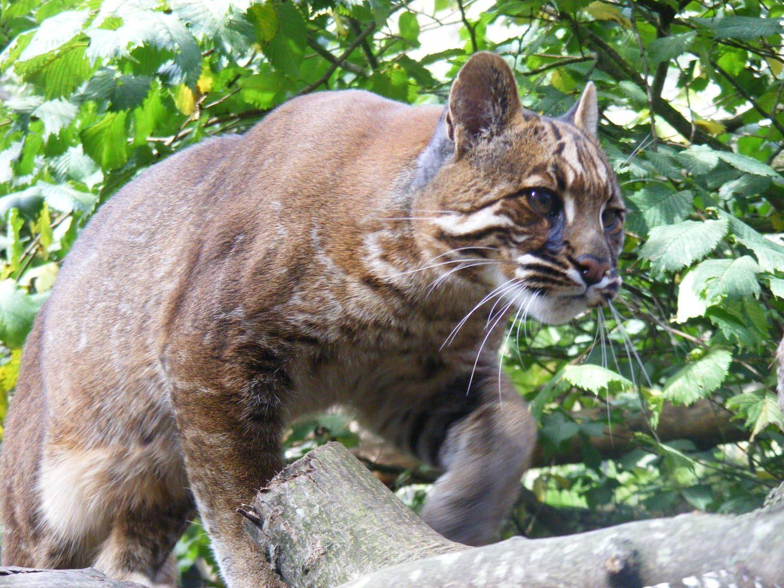 Asian Golden Cat (Catopuma temminckii) Asian leopard cat
