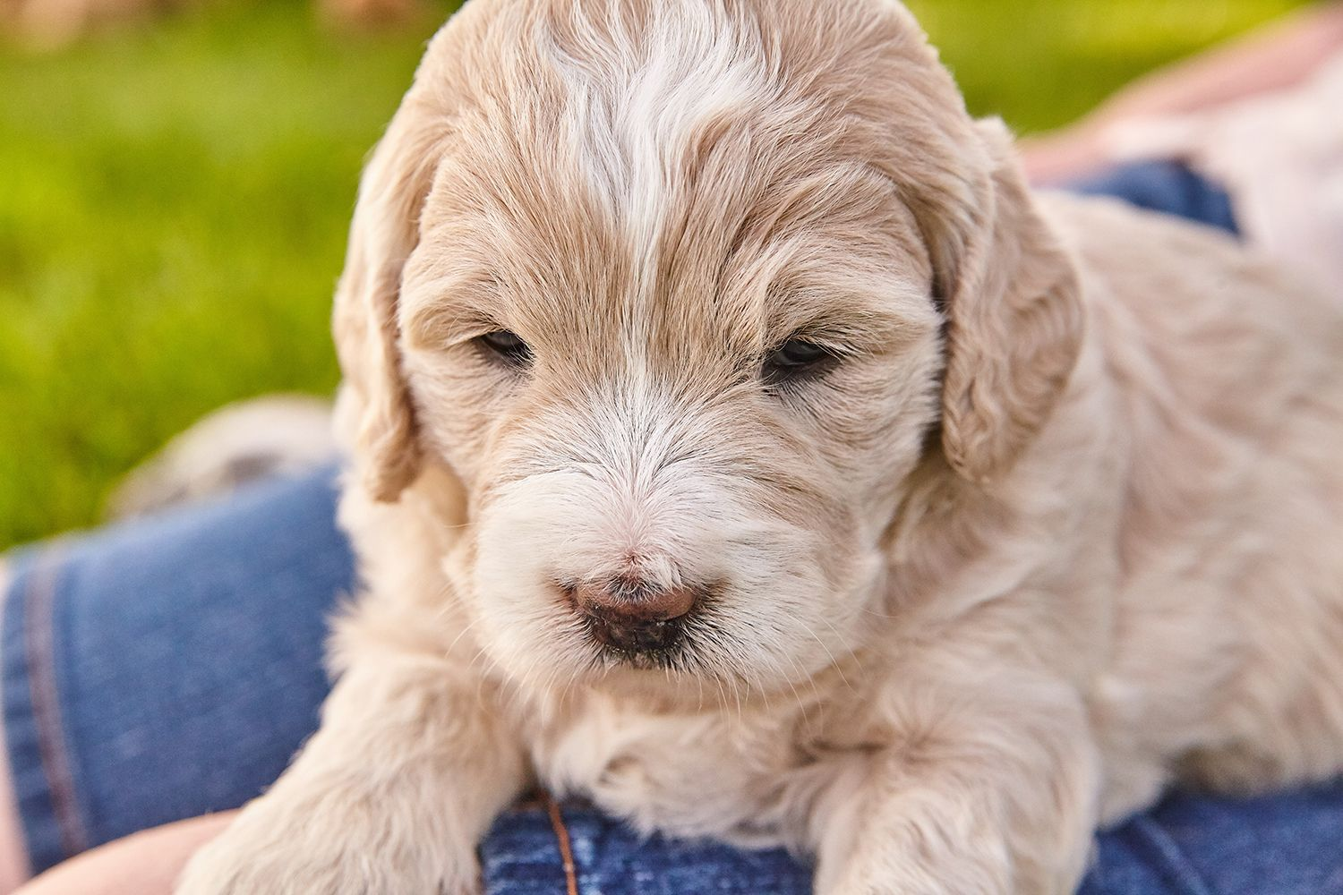 Puppies Puppies More Puppies We Have Several Litters Coming Of Age And One With Newborns If You Re Looking To Adopt Puppies Golden Retriever Labradoodle
