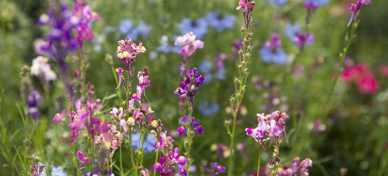 Einjährige Sommerblumen vorziehen - für mehr WOW im Garten #kleinekräutergärten