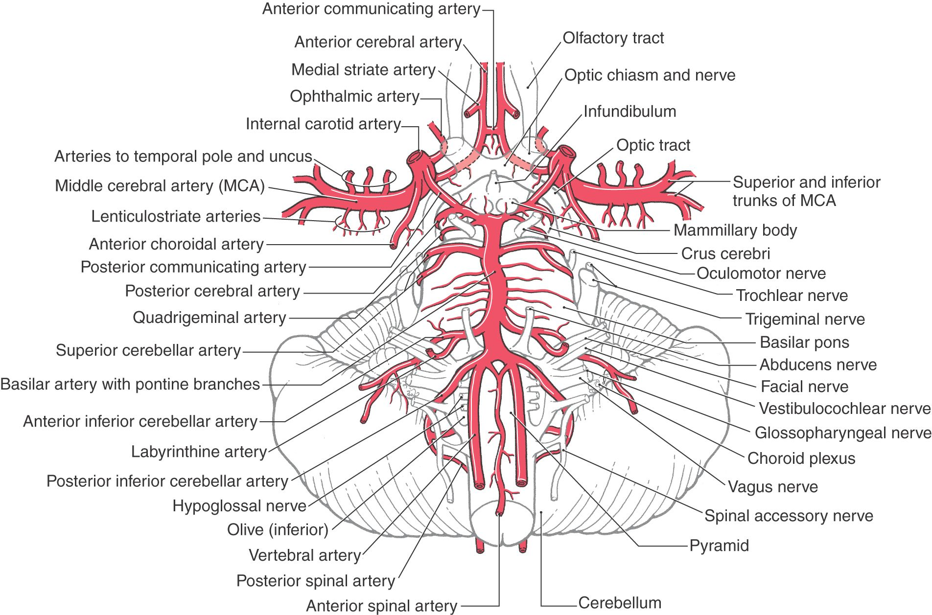 Image result for branches of internal carotid artery   PA Anatomy ...