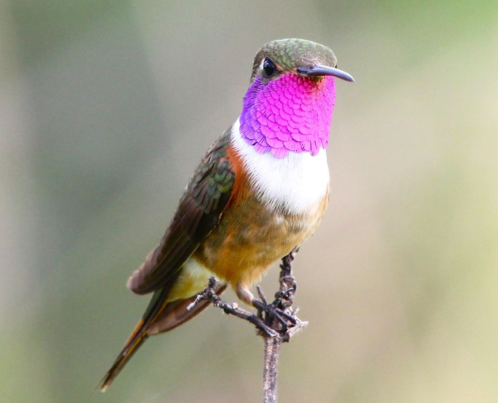Bahama Woodstars Hummingbird