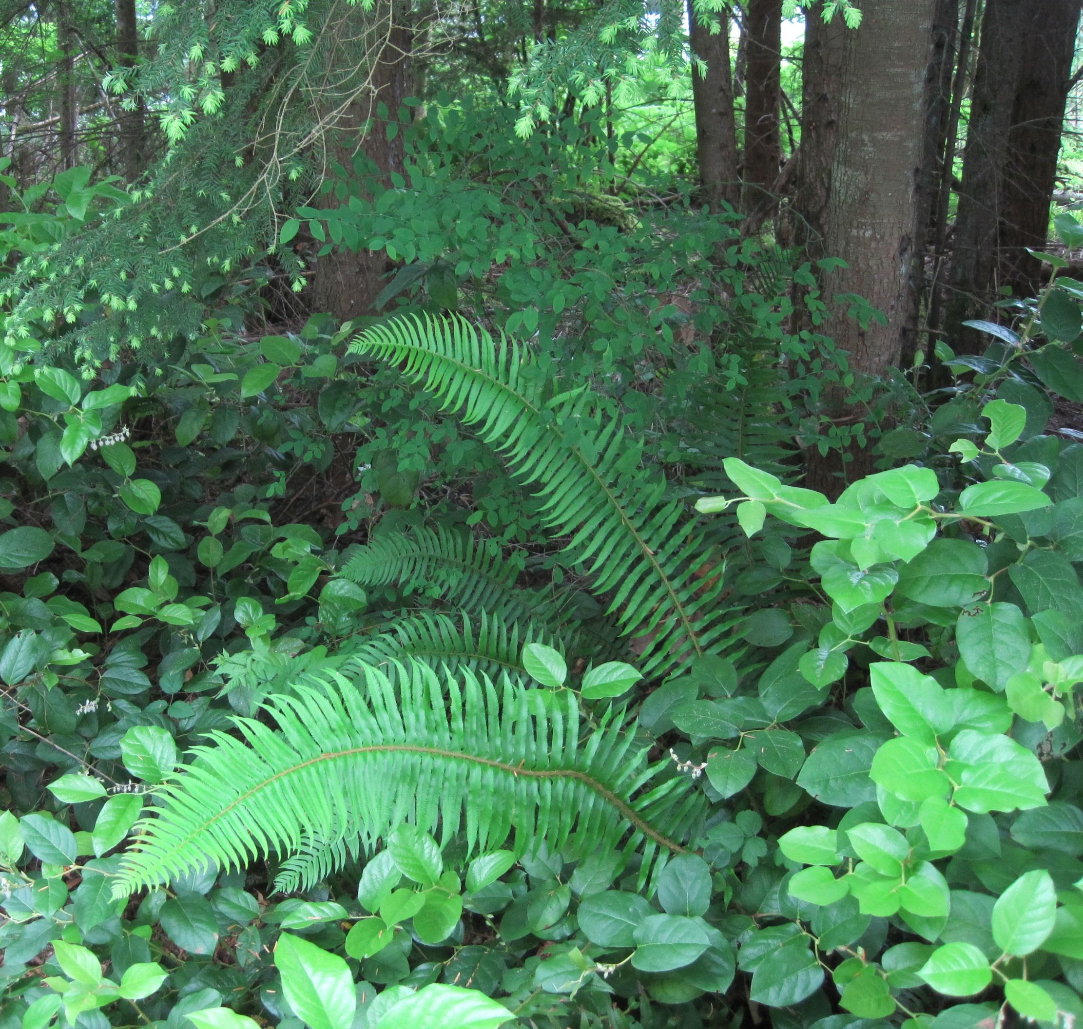 June in Seattle, the woods. Ferns garden, Fern plant