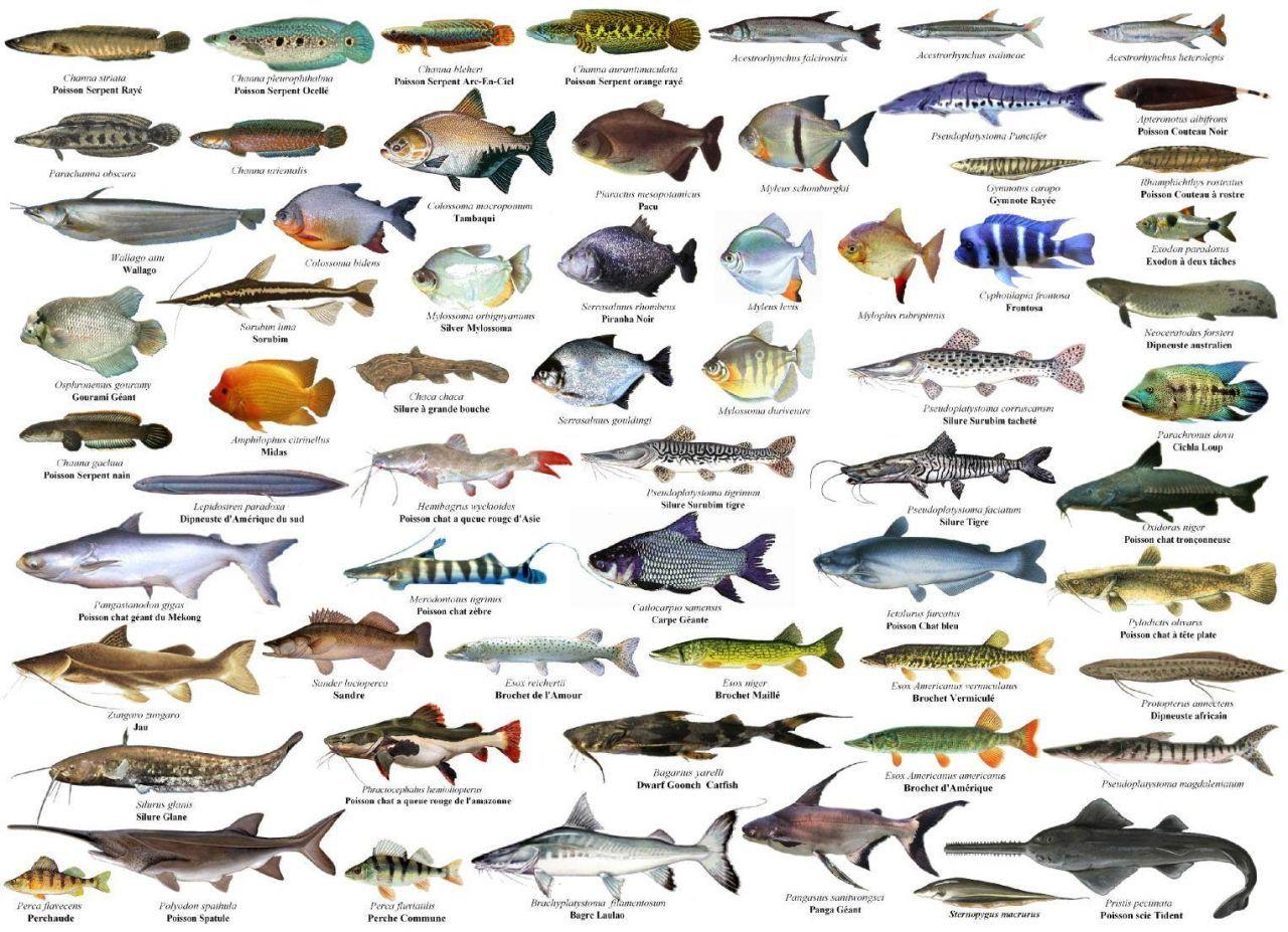 Resultado de imagem para tipos de peixe de mar
