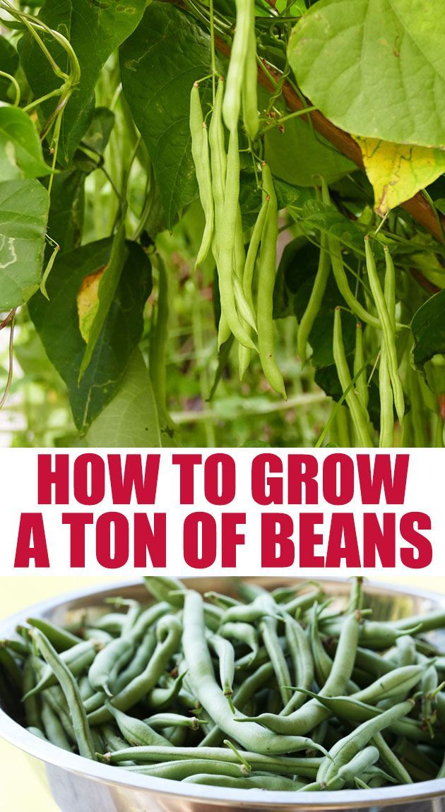 Photo of How to Grow Beans