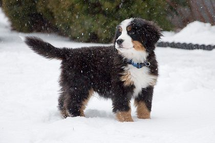 I Wish I Live In Colorado So I Can Have One Of These Puppies So Cute Bernese Mountain Dog Puppy Baby Dogs Dogs