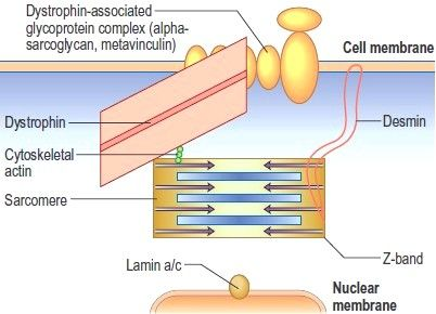 Schematic Representation Of Myocyte Proteins Implicated In Dilated Cardiomyopathy Dcm Dilated Cardiomyopathy Nuclear Membrane Cell Membrane