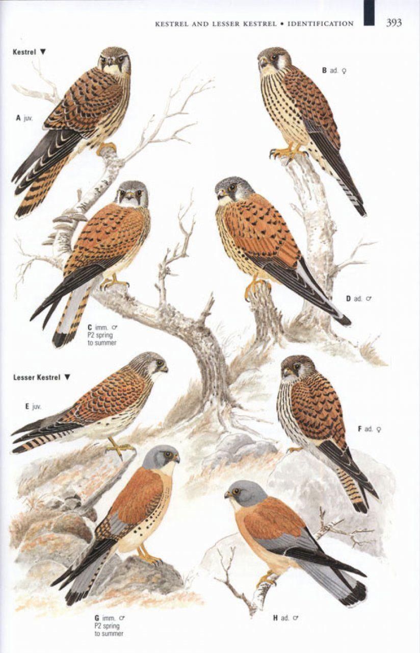 Louisiana Bird Identification Chart 161721 5 Jpg Birds Of Prey Pet Birds Beautiful Birds