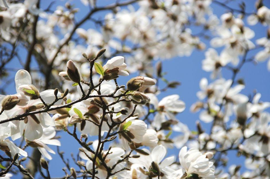 Magnolia at Bispebjerg Kirkegård, Copenhagen spring by blogliebling.dk