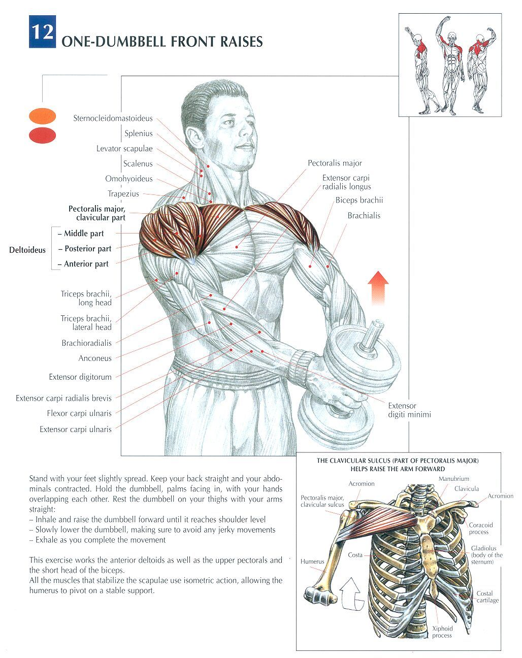 The anatomy of lifting (lots of pics) - Page 2 - Bodybuilding.com ...