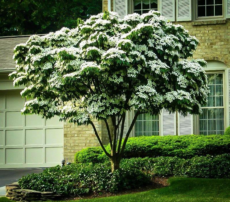 White Kousa Dogwood Tree Kousa Dogwood Tree Patio Trees Dogwood Trees