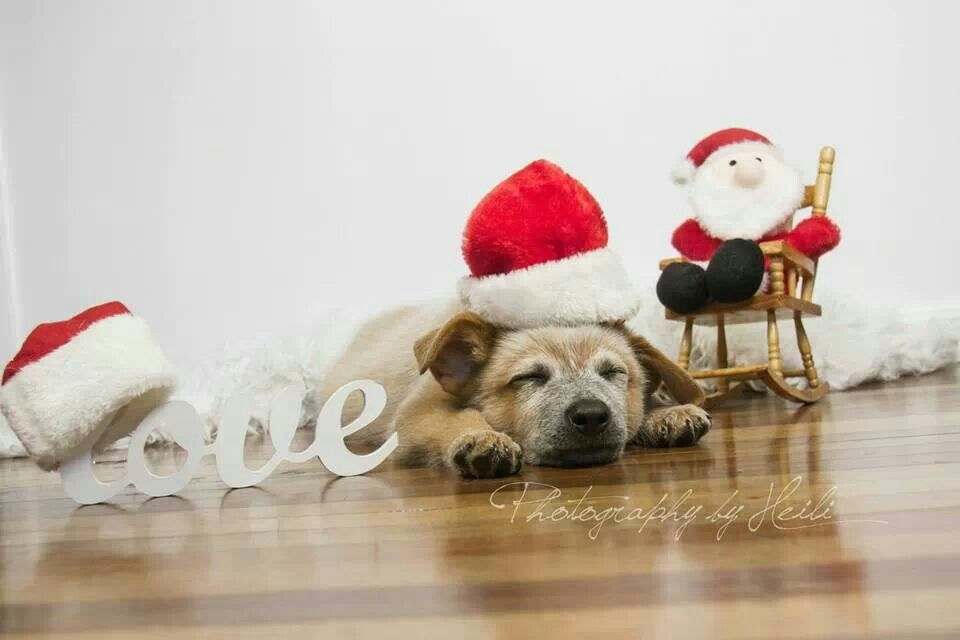 From Australian cattle dog rescue of Illinois Christmas