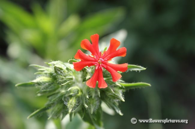 Maltese Cross Flower 50 Maltese Cross Flowers Flower Pictures