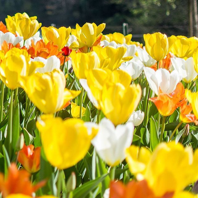 Between which two colours is yellow situated on the spectrum of visible light? #trivia #quiz #pictureoftheday #quizquest #yellow #physics #flowers #tulips