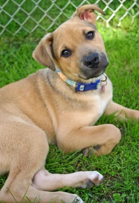 Ginger Is Mixed Breed Believed To Be Part Carolina Dog And Part