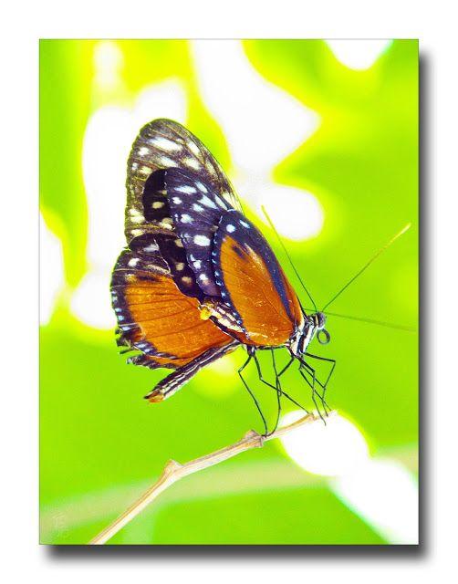 Butterfly Heliconius Ismenius Mit Bildern Fotos