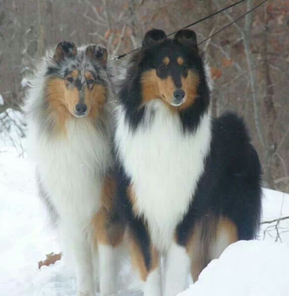 Gorgeous Collies One On The Right Reminds Me Of My Precious