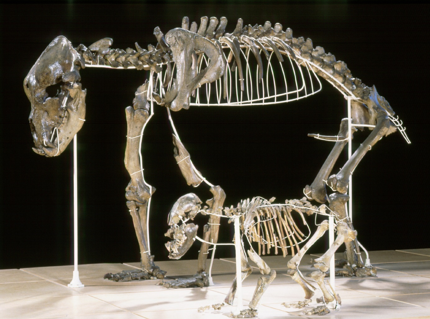 Fossil bear turned out to be a vegetarian