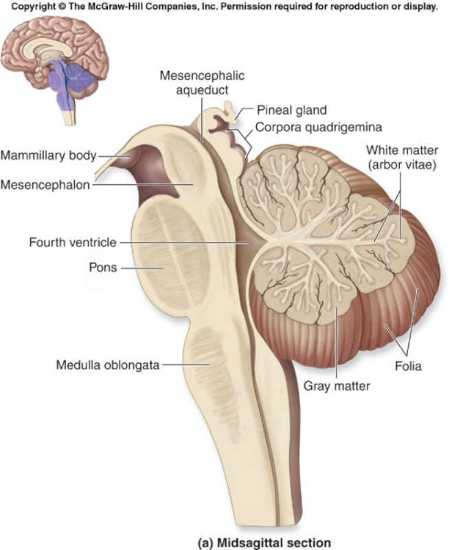 Cerebellum Diagram | fashion make up hints health | Pinterest ...
