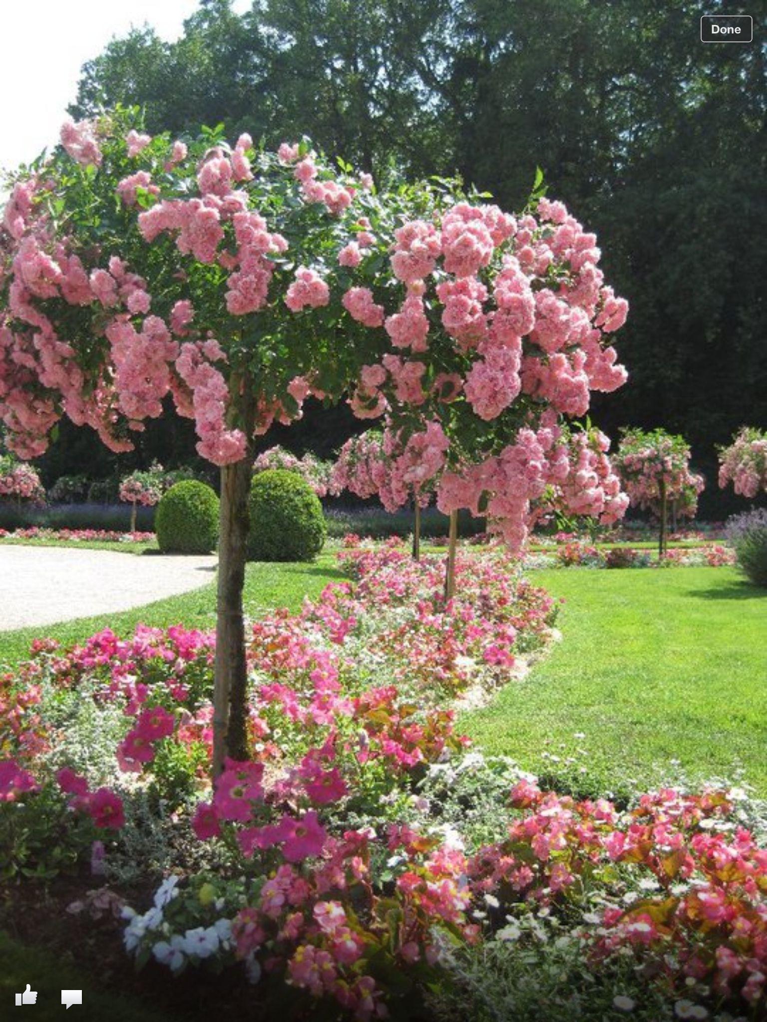 French rose tree beautiful rosier pleureur for Decoration jardin rosier