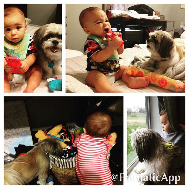 Scout And Carter Shih Tzu Are Great With Kids These Two Were