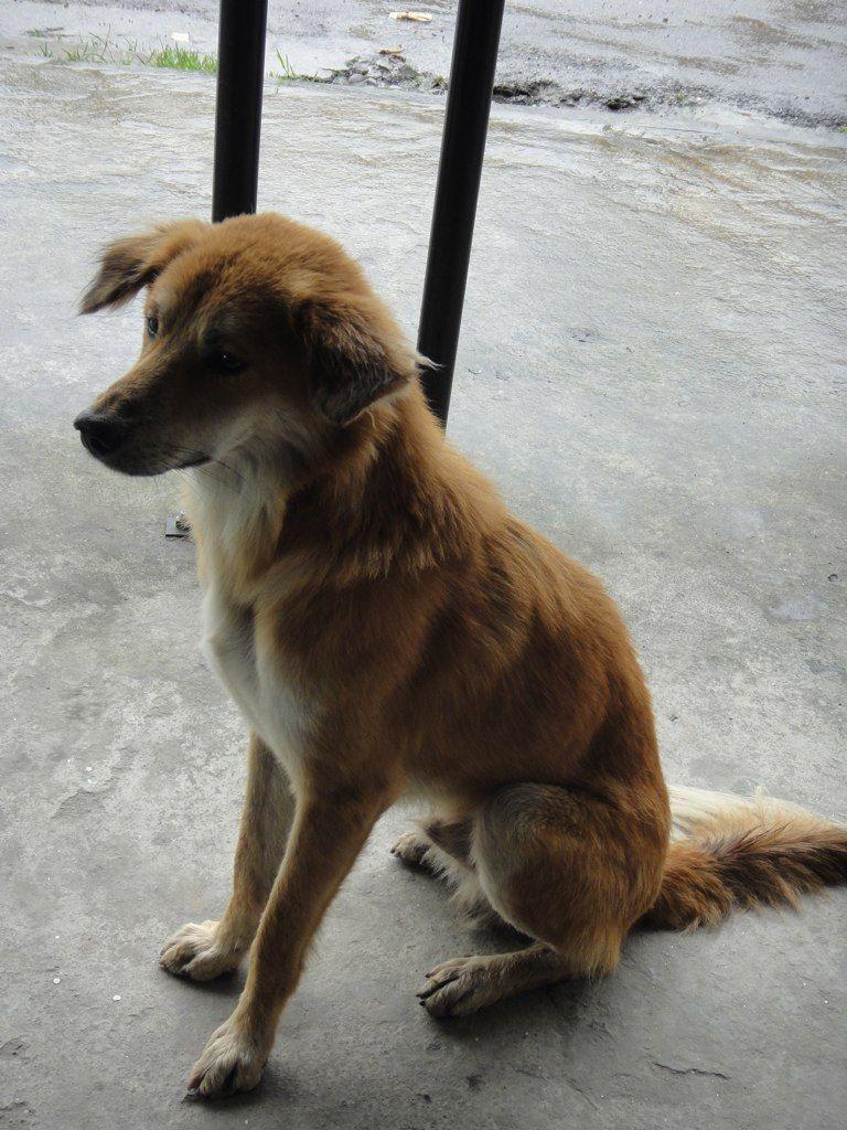 stray mutt dog from nepal   dogs   pinterest   mutt dog and dog