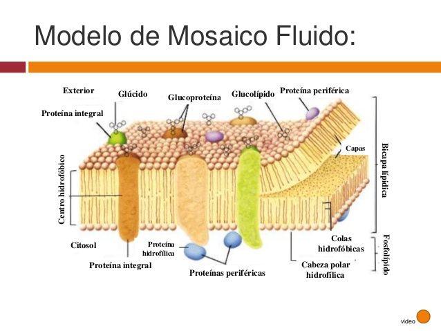 Anatomia De La Membrana Celular Buscar Con Google