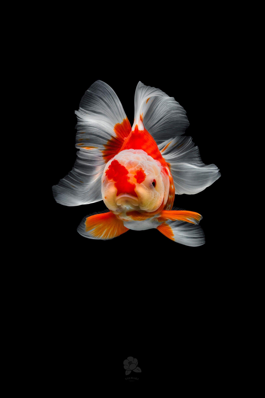 Poisson Rouge Bassin Extérieur les incroyables portraits de poissons rouges chinois par le