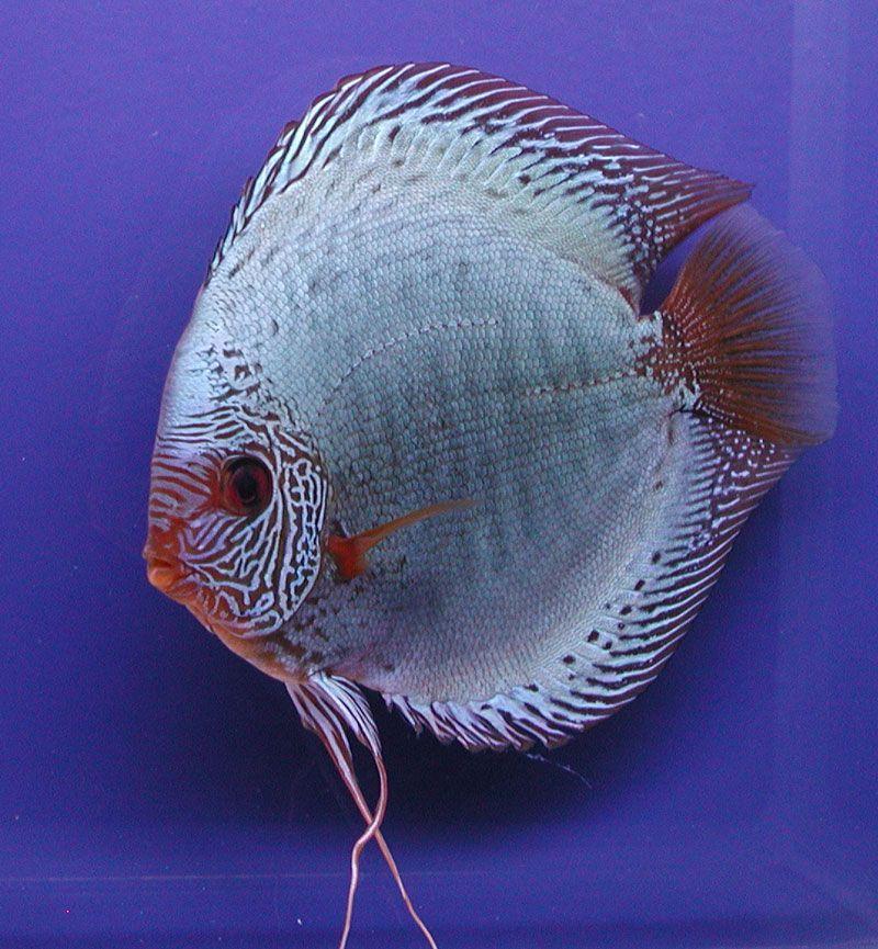 diskusfische online kaufen fische diskusfische fische und aquaristik. Black Bedroom Furniture Sets. Home Design Ideas