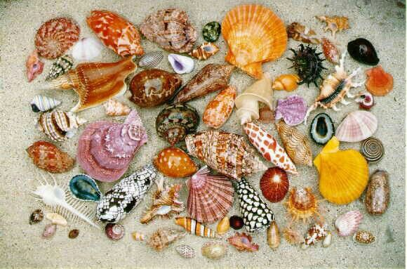 Exhibition Shell Vacations : Pictures of seashells quot god s creation the great sea