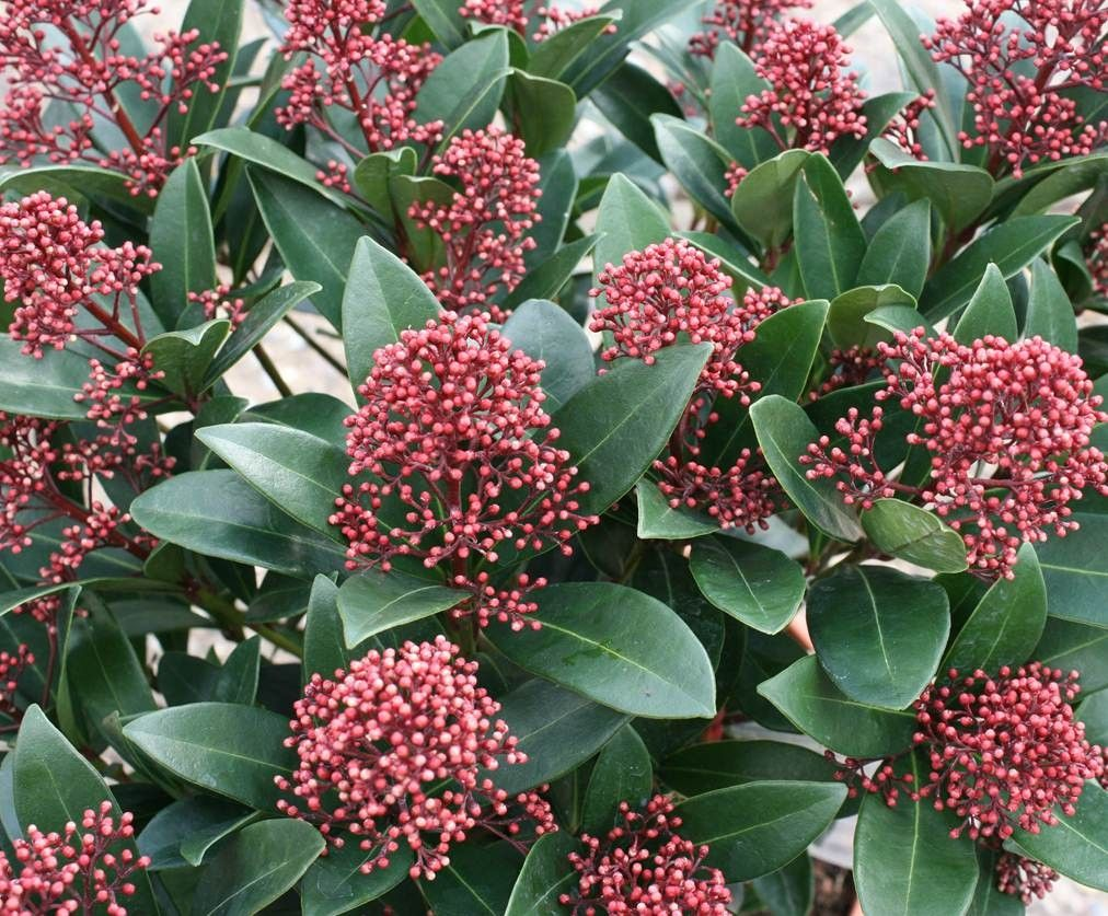 skimmia japonica 39 rubella 39 skimmia heesters mar chal red buds in winter blossoms white. Black Bedroom Furniture Sets. Home Design Ideas