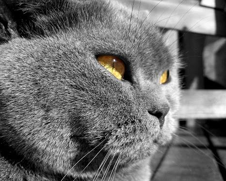 (1) Maraki Maraki - Google+ - Shorthair british cat!!!!! a fluffy and cutie cat!!!!!!!!!…  stare