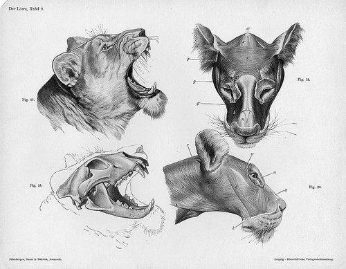 Imagelion Anatomy Headg Wikimedia Commons Fabulous Creations