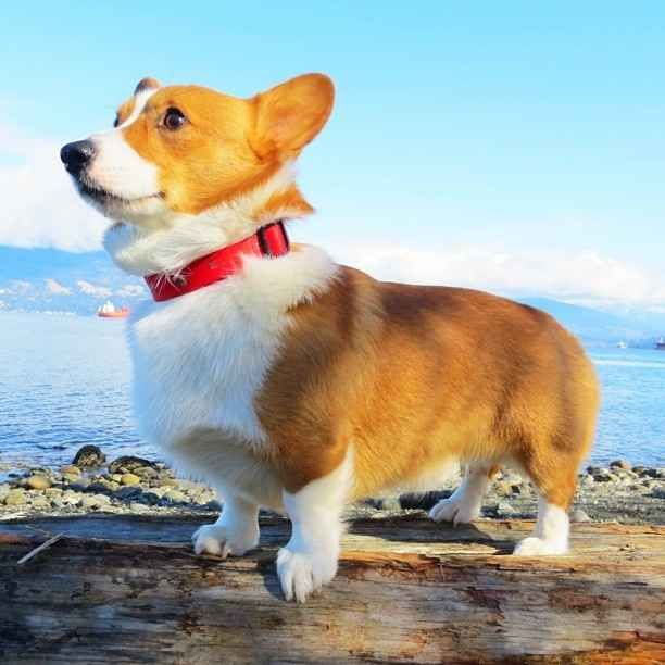 The Most Important Corgis Of Instagram Corgi Corgi Dog Pembroke Welsh Corgi