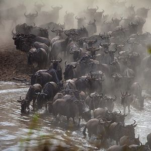 Image : 38478469    (150727) -- MASAI MARA, July 27, 2015 (Xinhua) -- Wildebeests wade across the Mara River in Kenya's Masai Mara National Park on July 26, 2015.