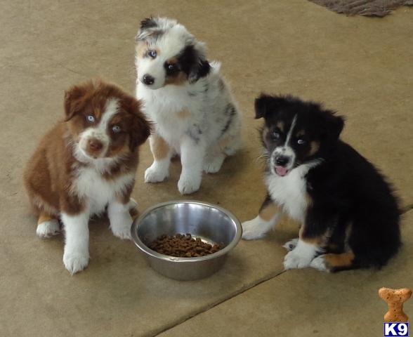 Australian Shepherds Red Tr Blue Merle And Black Tri Aussie Dogs Australian Shepherd Australian Shepherd Puppies