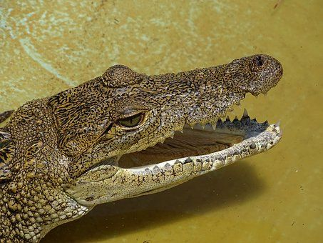 Krokodil Hullok Mexiko Moreletti Horse Feed Animals Lizard