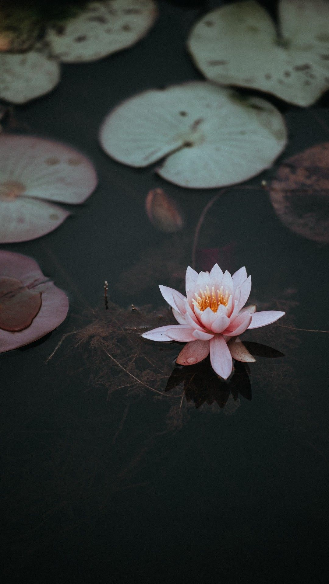 Lotus flower pictures ...