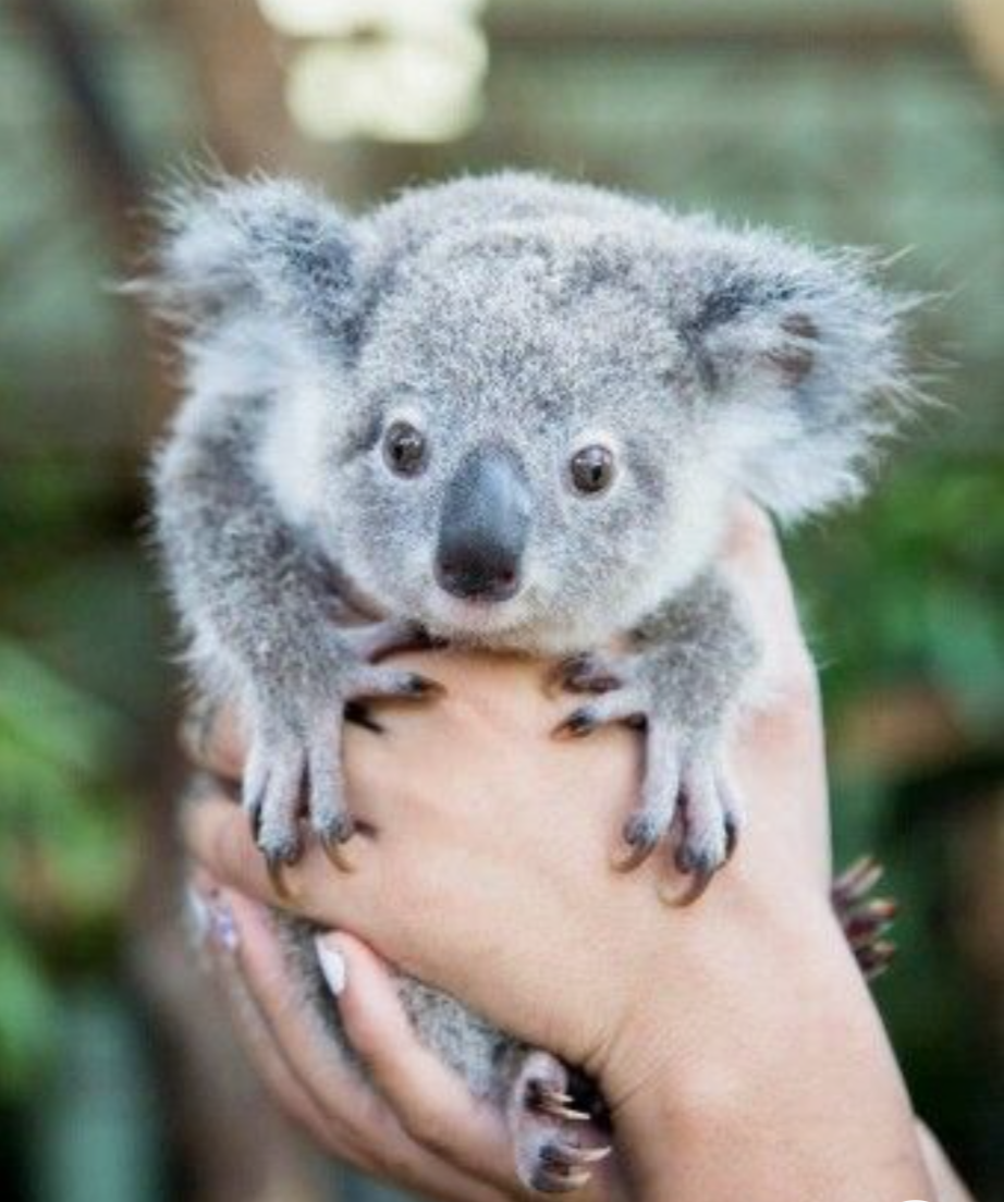 Koala can be very aggressive. They also have very sharp