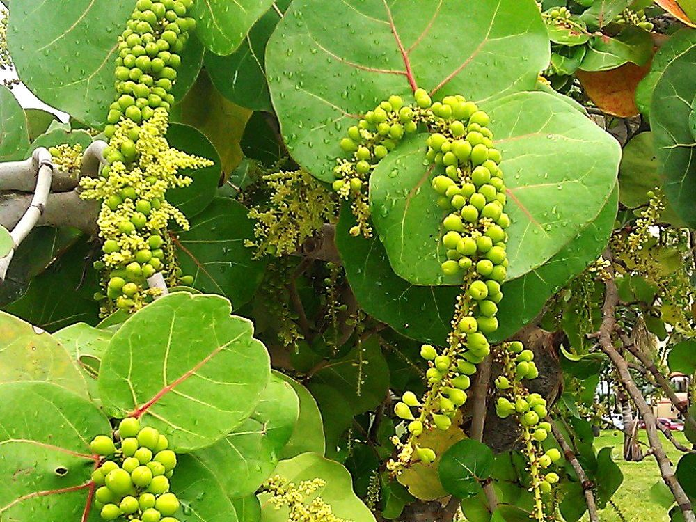 Sea Grapes - www.whatyagotmiami.com by whatyagotblogs