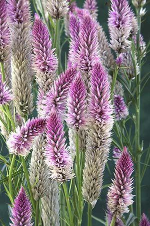 Celosia Deer Resistant : celosia, resistant, Cockscomb, Flamingo, Celosia, Spicata, Flower,, Flower, Seeds,, Resistant, Plants