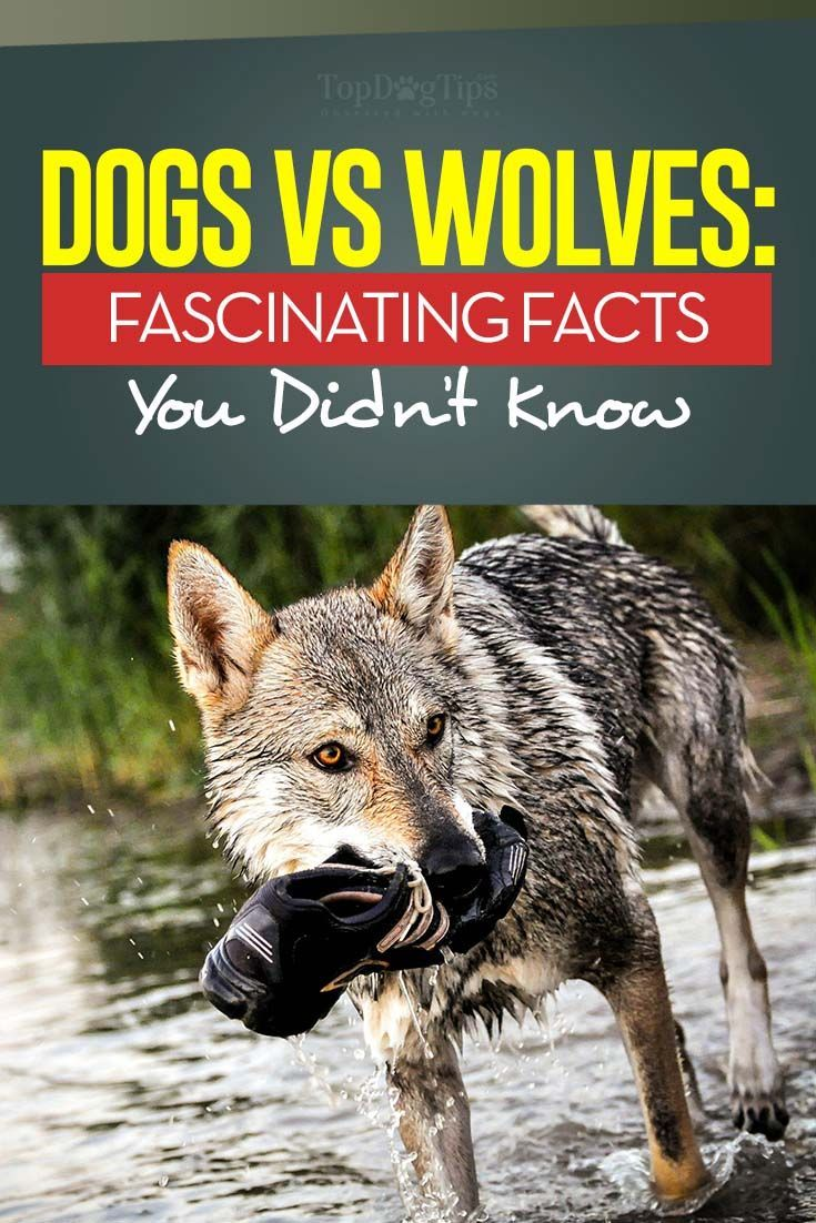 10 Key Differences Between Wolves and Dogs Dog science