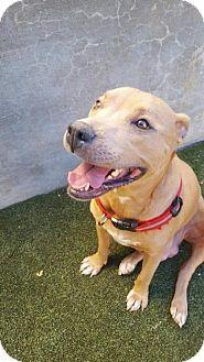 Labrador Retriever/Pit Bull Terrier Mix Dog for adoption in New York, New York - Sassy Momma