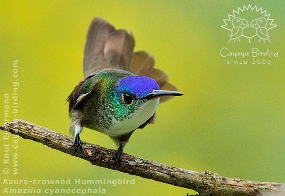 ソライロボウシエメラルドハチドリ Azure Crowned Hummingbird Amazilia Cyanocephala